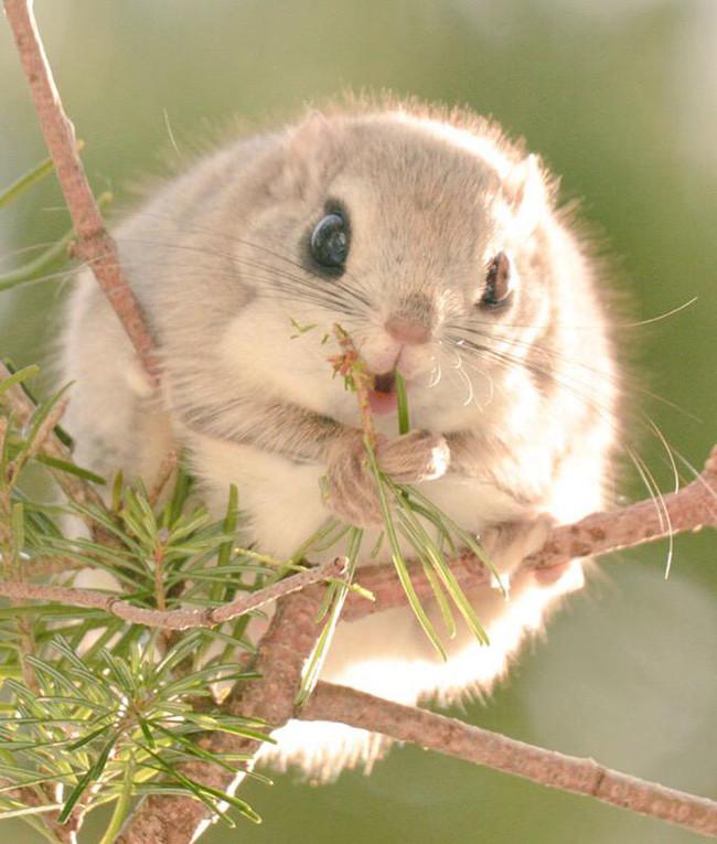 Ezo Momonga, scoiattolo volante