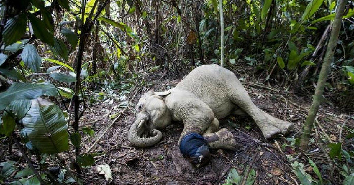 """Elefanti di Sumatra a rischio estinzione: """"Se ne contano meno di 2mila"""""""
