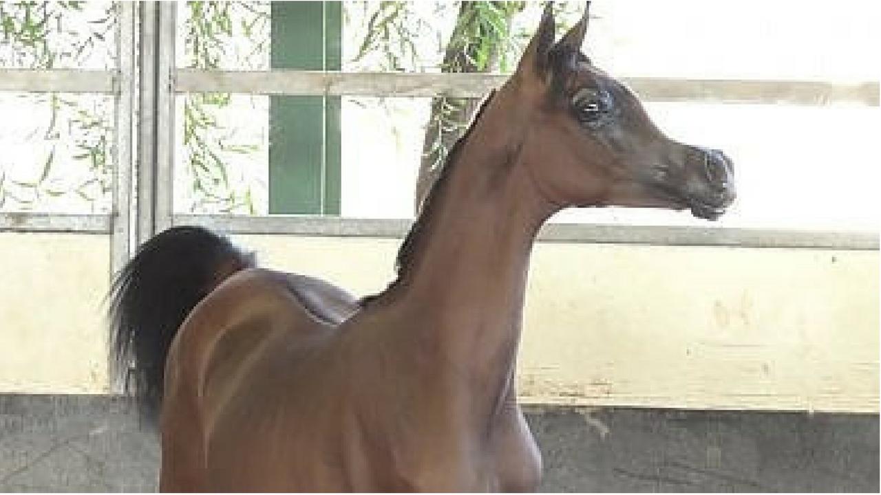 El rey il cavallo che sembra un cartone animato. perfezione o