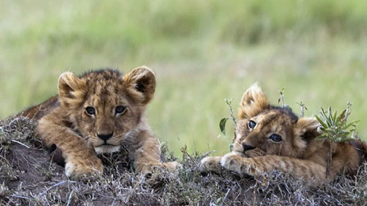 Zoo svedese uccide nove cuccioli di leone: