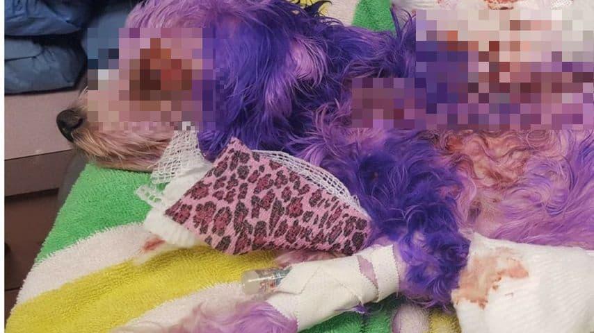 violet cane