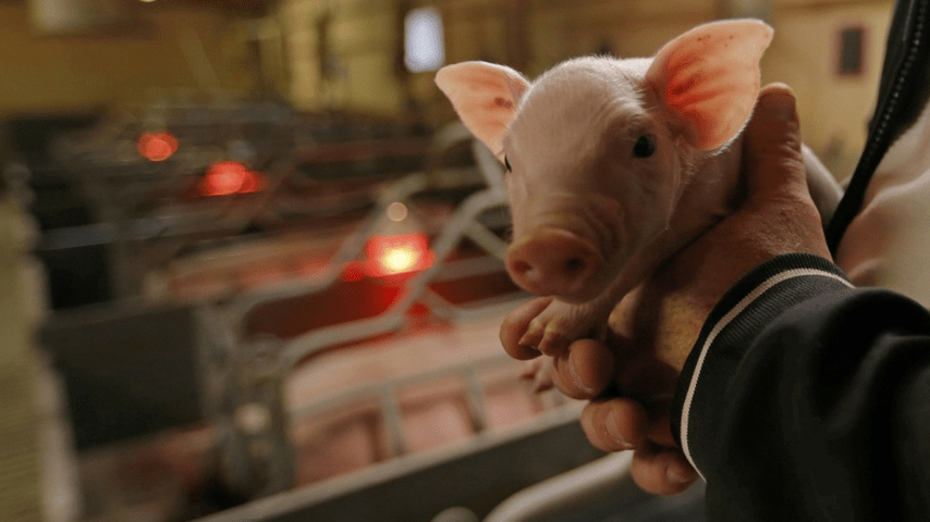 maiali benessere animale