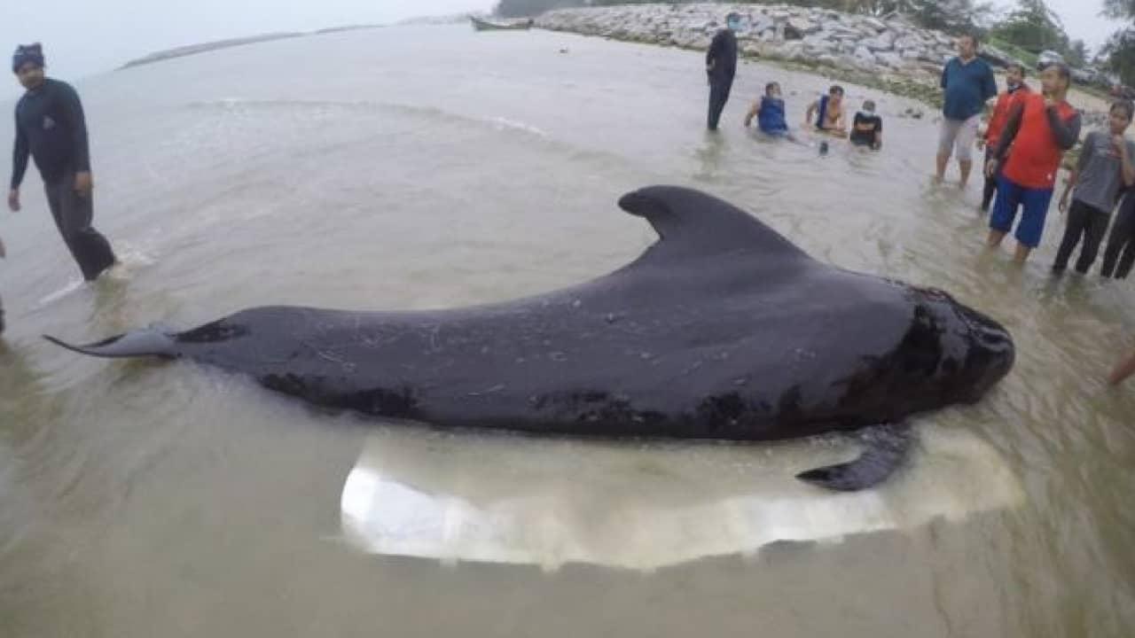 balena morta 80 sacchetti di plastica nello stomaco
