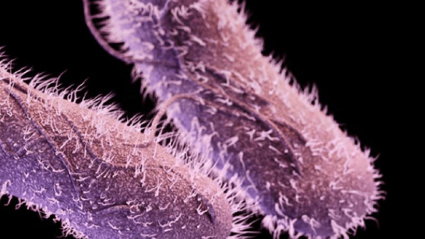 Batterio della salmonell