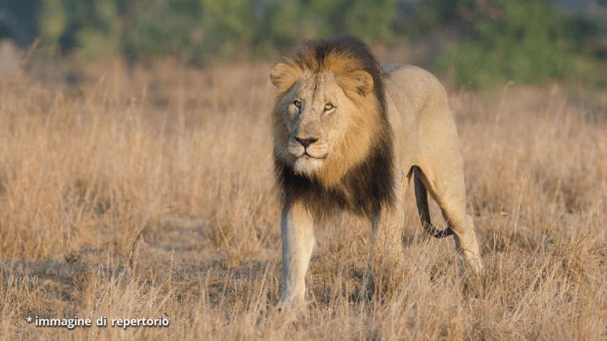 leone repertorio