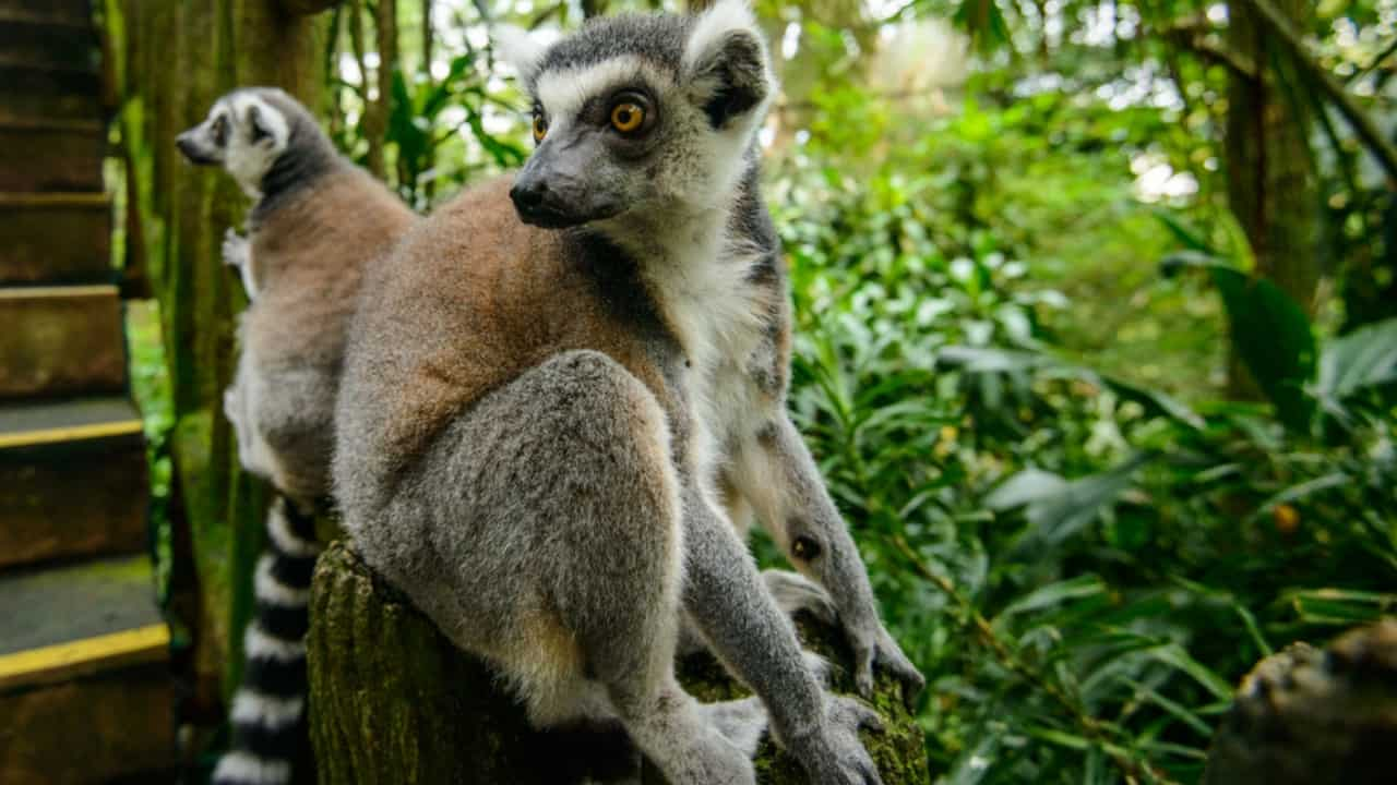 lemuri estinzione