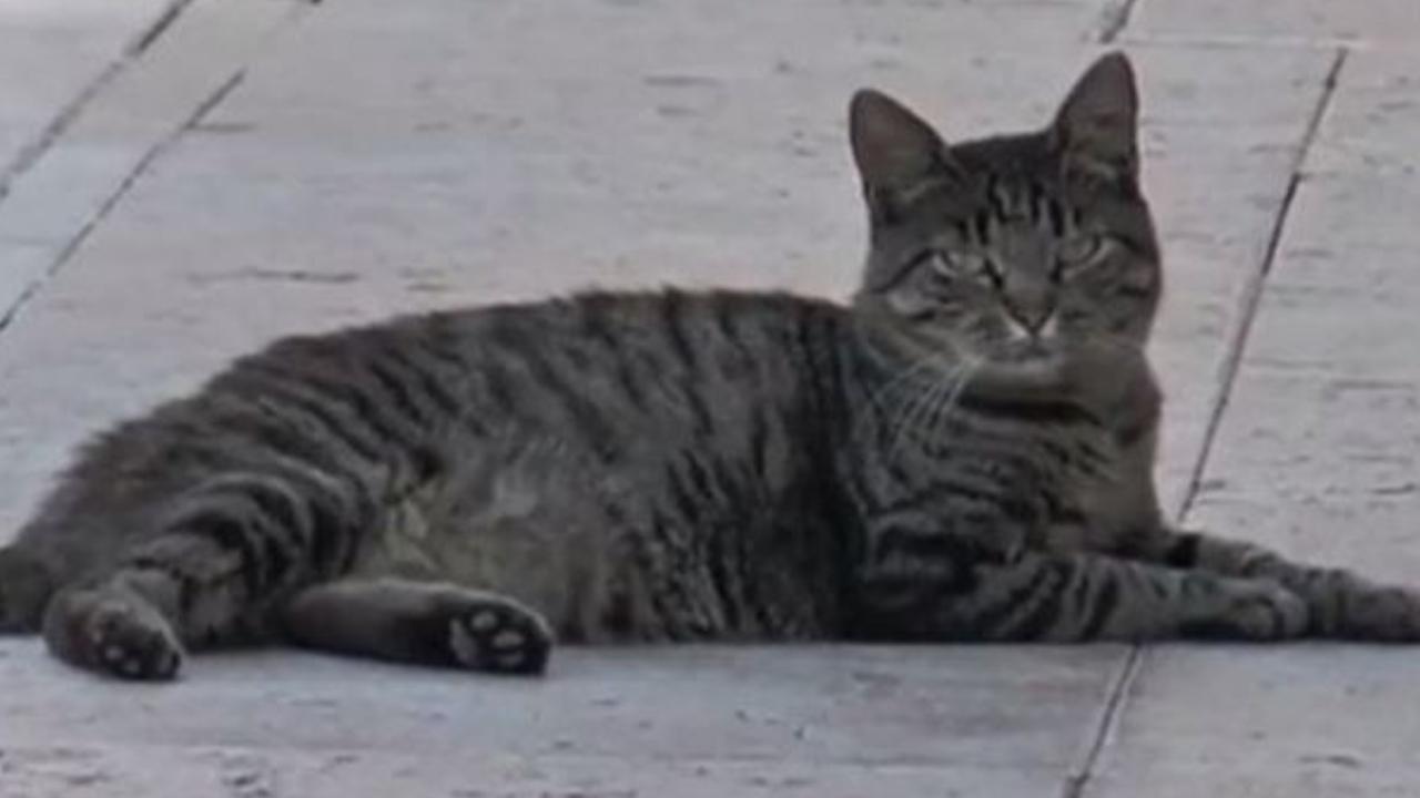 Tenny, la gattina che aspetta il padrone all'ospedale di Oderzo