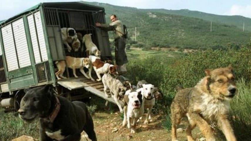 Una muta di cani da caccia in Spagna