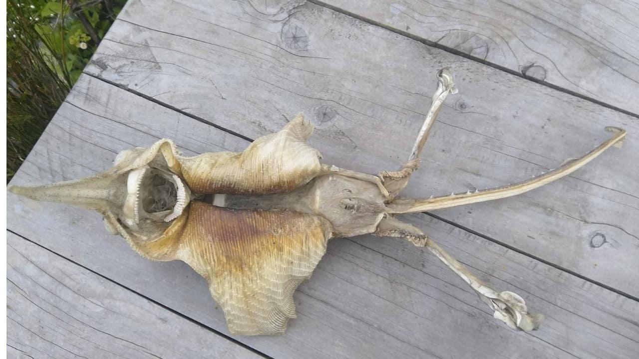strana creatura ritrovata sulle spiagge della nuova zelanda