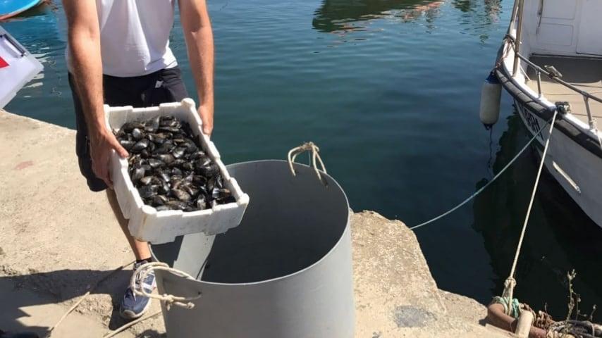 Le cozze contaminate sarebbero quelle allevate in mare