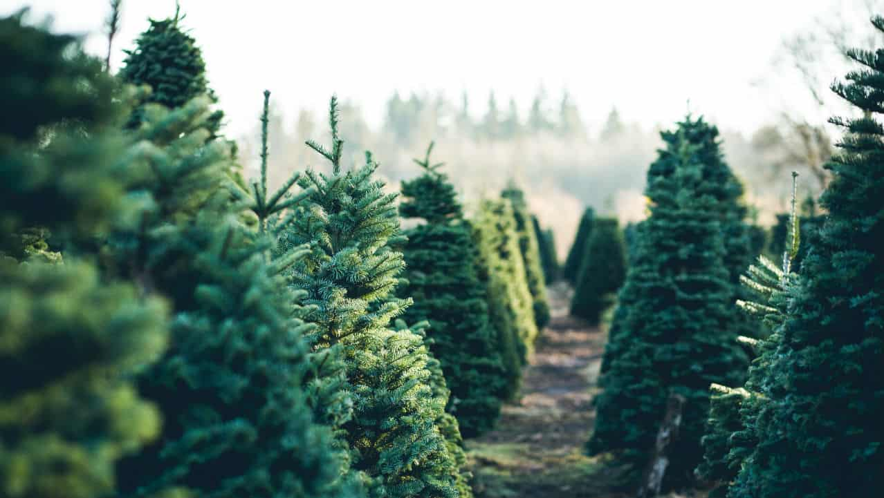 Rubato l'albero di Natale a Napoli dopo appena 4 giorni