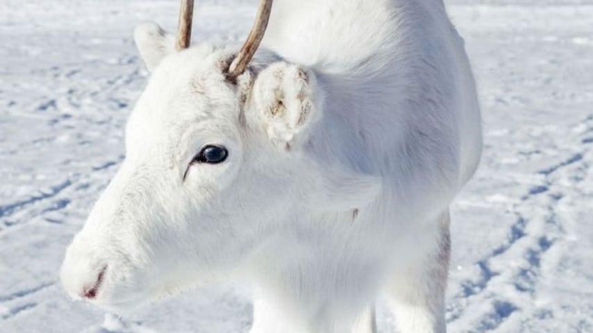 incontra una rara renna bianca, il fotografo le scatta delle foto