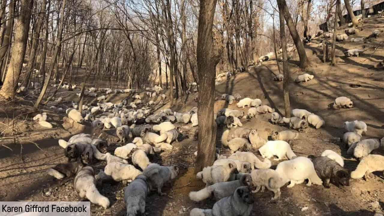 Attivista cinese salva centinaia di volpi bianche da un triste destino: sarebbero diventate pellicce