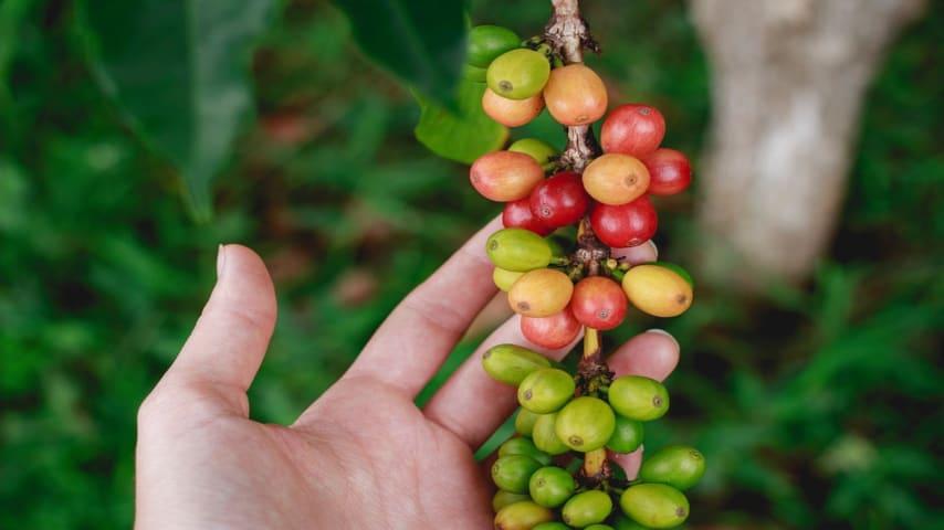 Caffè a rischio sopravvivenza: funghi patogeni stanno attaccando la pianta