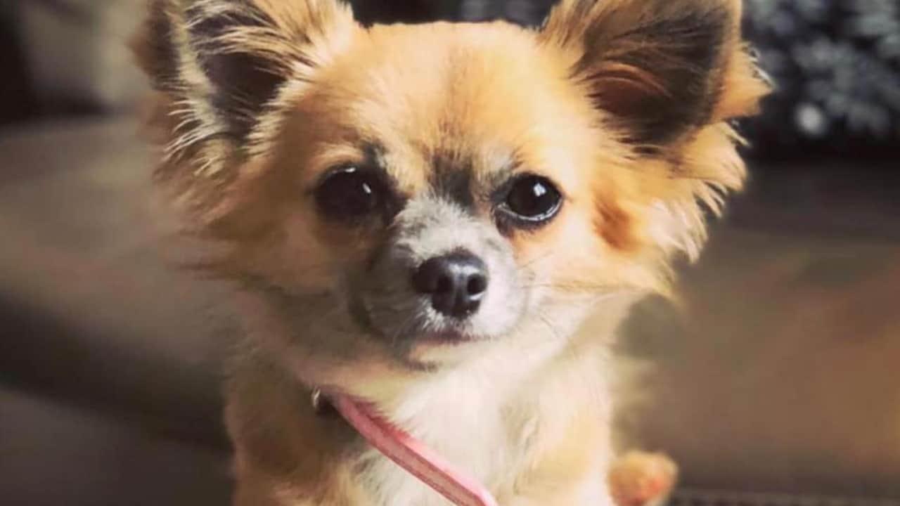 Coco, chihuahua eroe morto per salvare bimba dalle fiamme