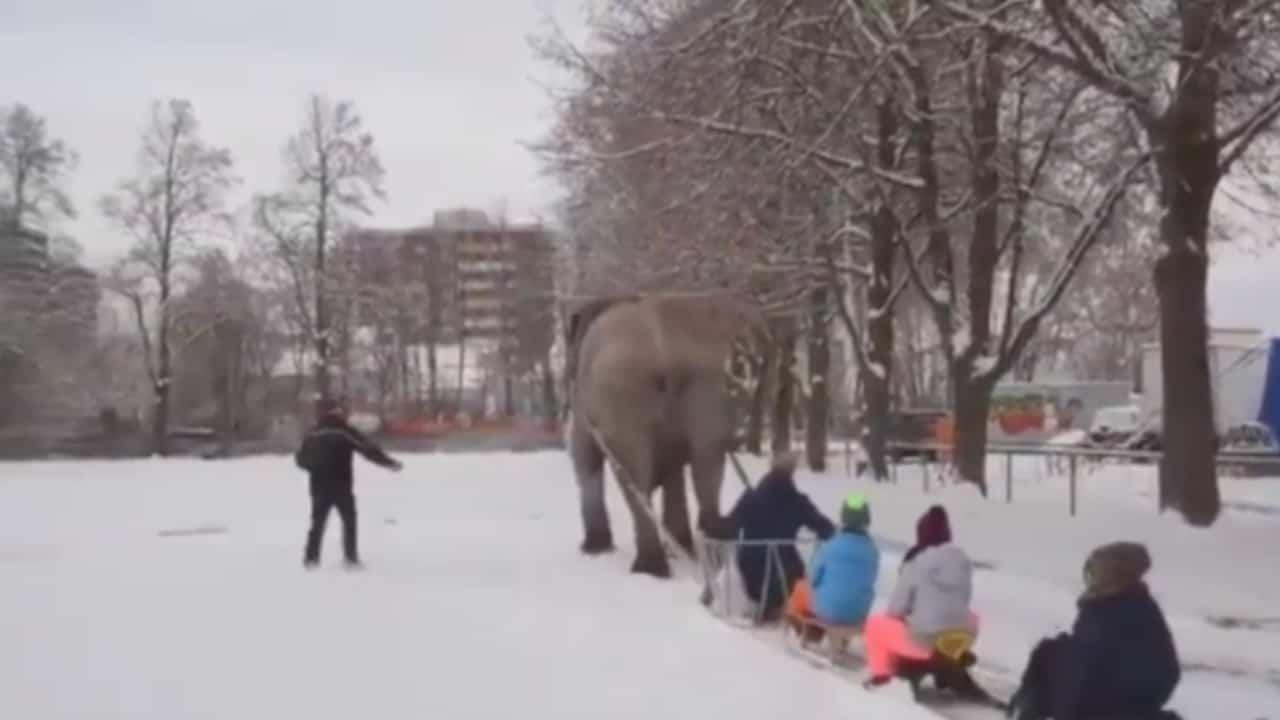 Mambo, l'elefante costretto a trascinare slitte sulla neve