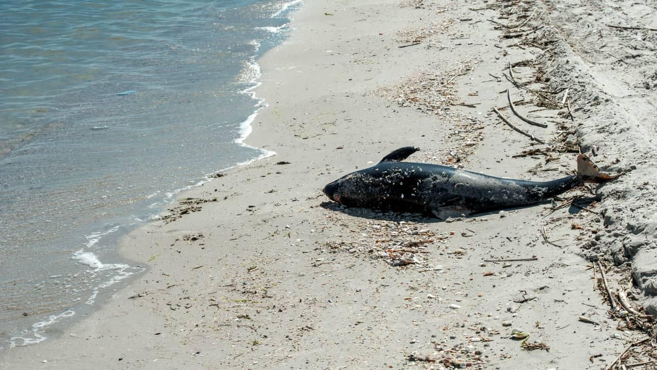 Delfino muore sulla spiaggia, ma la carcassa sparisce: venduto come tonno?