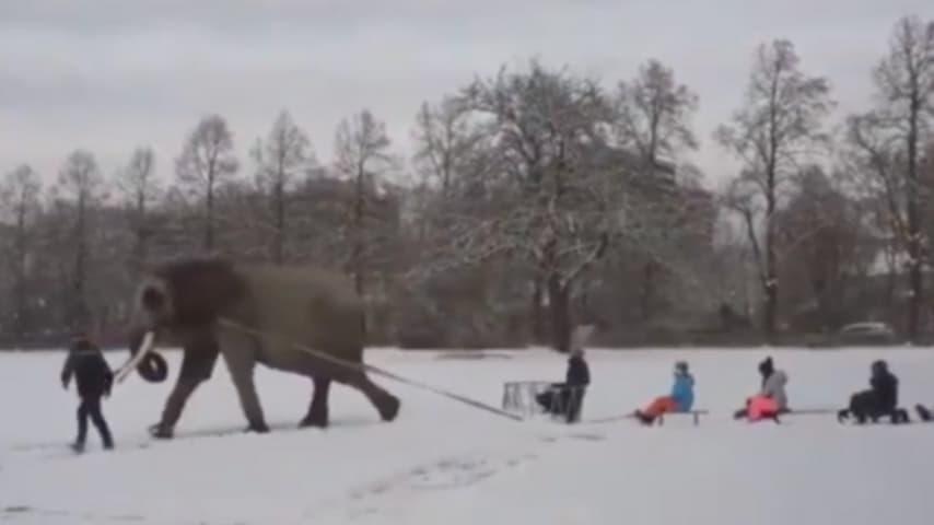 Mambo, l'elefante costretto a trascinare slitte sulla neve.