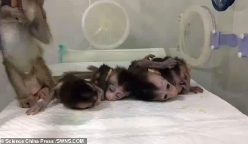Clonate 5 scimmie modificate geneticamente per non dormire mai