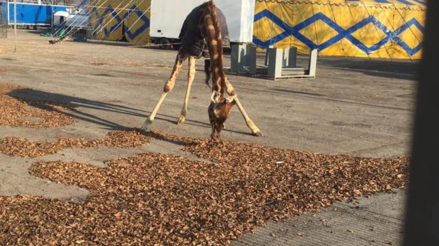 giraffa col cappotto