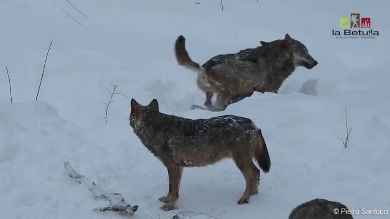 Lupi giocano tra la neve in Abruzzo