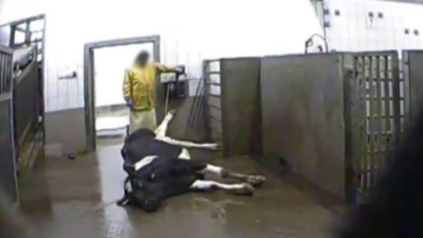 Mucche malate: lo scandalo polacco che potrebbe di ventare europeo