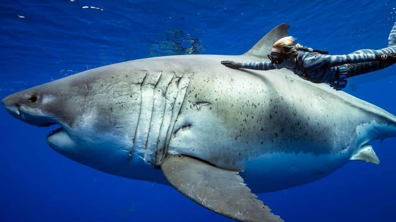 Nuotata adrenalinica con Deep Blue, lo squalo più grande al mondo