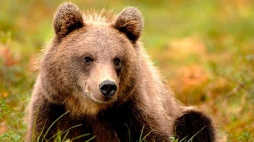 Un orso salva un bimbo di 3 anni