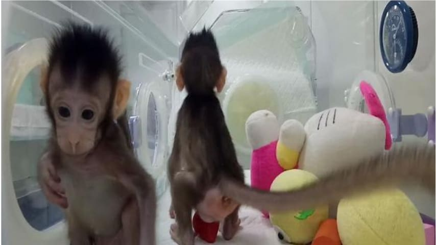 I due cloni di scimmia Zhong Zhong e Hua Hua