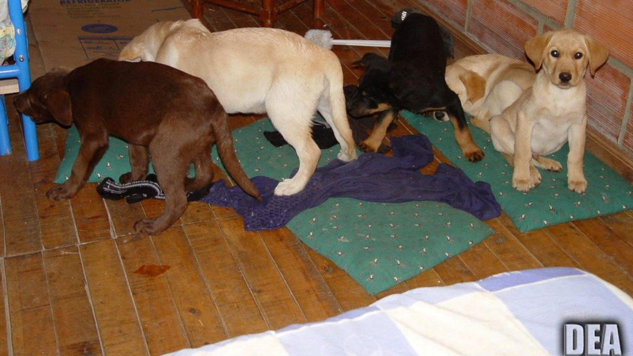 Veterinario imbottisce di droga cuccioli di cane e li usa per il contrabbando