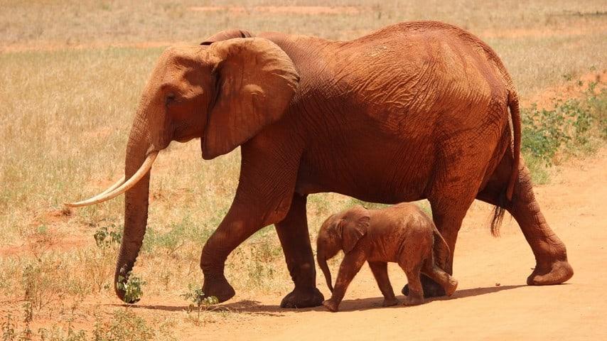 elefante, madre