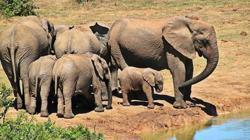 elefanti, branco