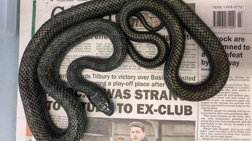 Un serpente blu sbuca fuori dal gabinetto della nuova casa, panico per una coppia