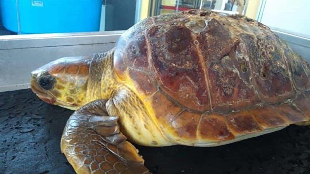 Tartaruga morta nelle coste del Cilento: troppa plastica nello stomaco