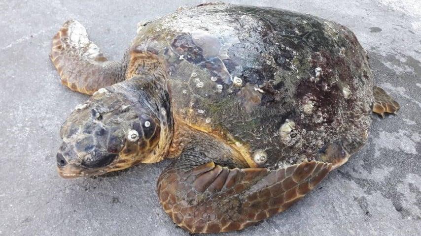 Puglia, mistero delle tartarughe decapitate: non sarebbe colpa dei pescatori