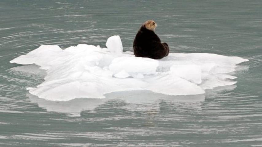 foca caldo alaska