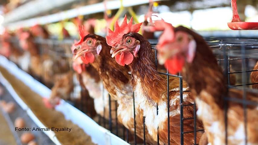 foto allevamenti in gabbia galline