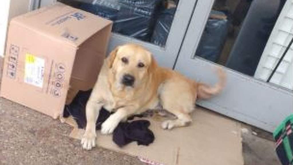 Toto, il labrador fedele aspetta davanti all'ospedale il padrone morto