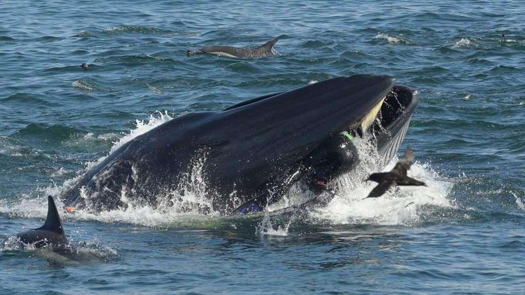 Foto della balena e del sub inghiottito