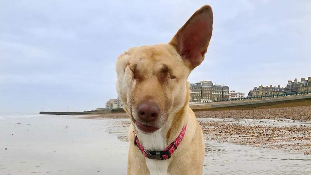 Maggie, il cane a cui hanno sparato e tagliato un orecchio
