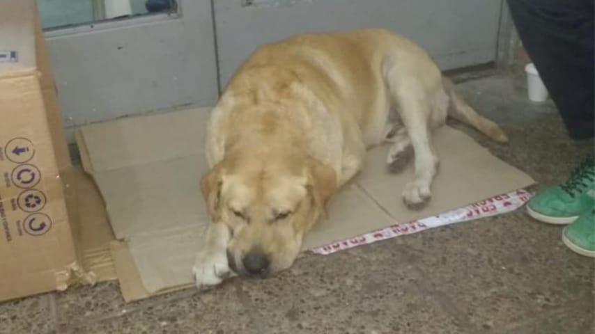 Il labrador Toto attende davanti all'ospedale