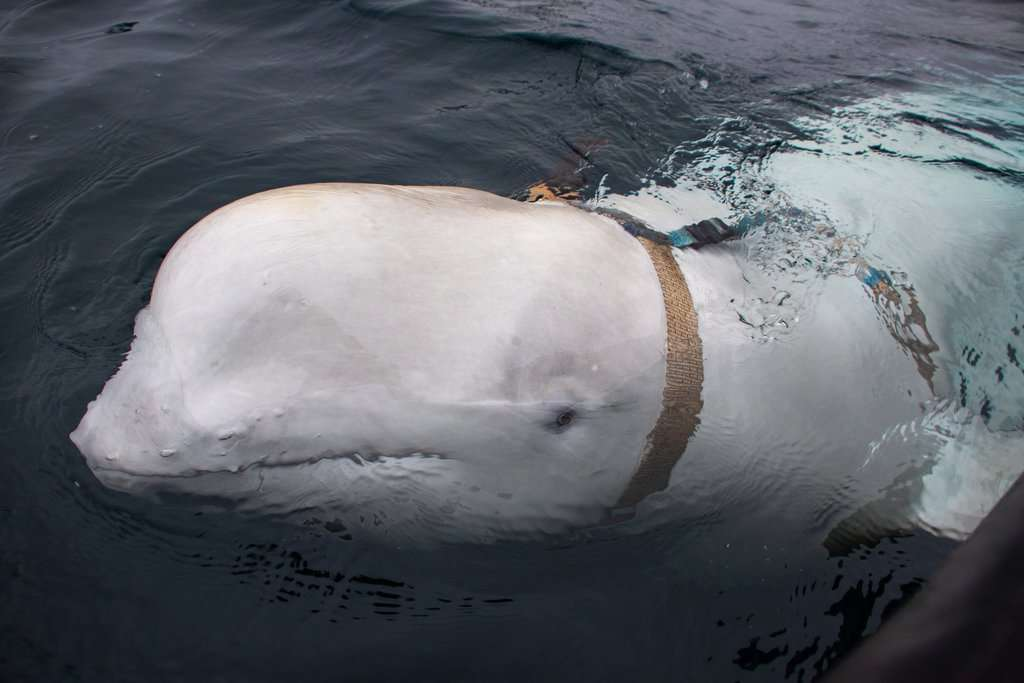 beluga imbracatura