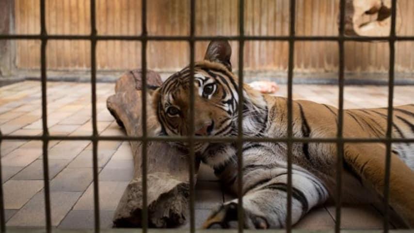 Animali sofferenti nelle gabbie degli zoo (Immagine di repertorio)