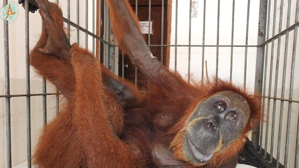 Hope, la mamma orango sparata 74 volte (Foto SOCP/Facebook)