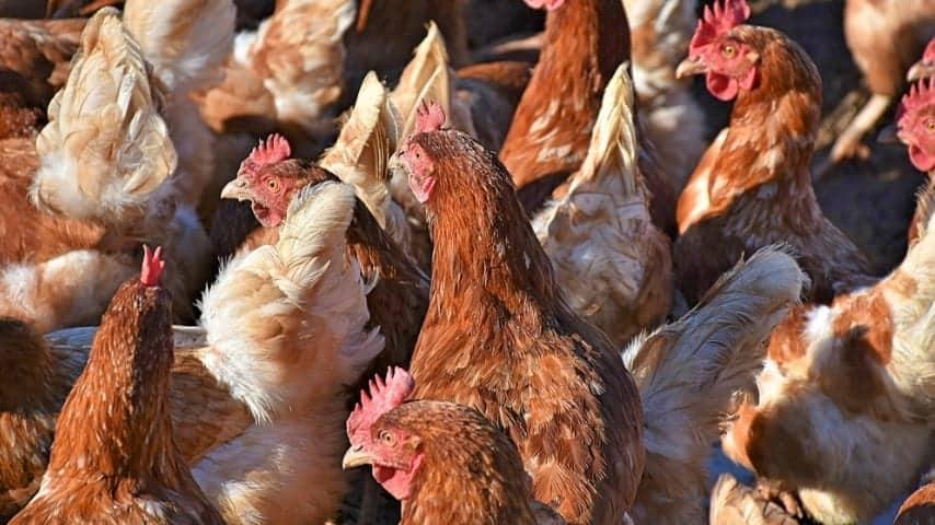 tante galline