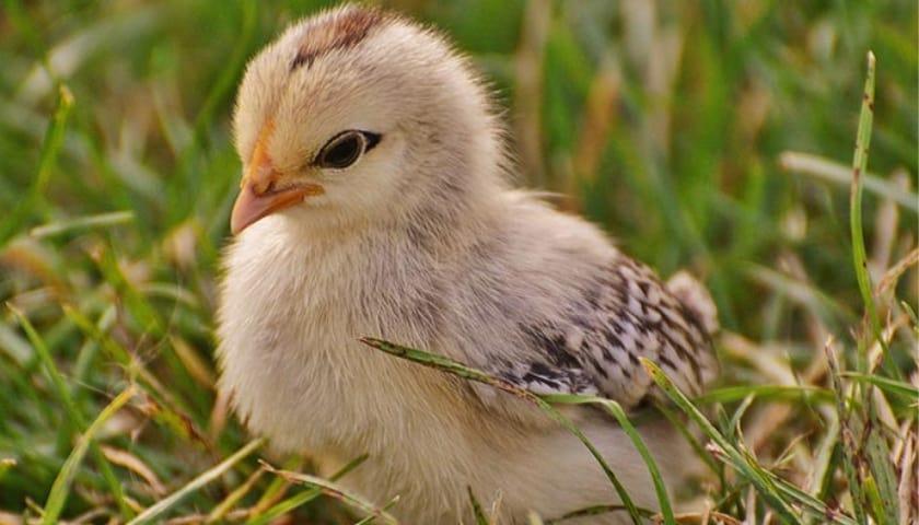un pulcino siede sull'erba
