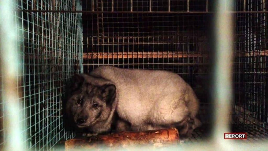 Volpi ingrassate e torturate per farne pellicce (Fonte Report)