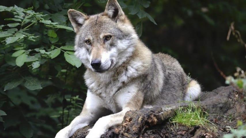 Il Ministero dell'Interno autorizza l'abbattimento dei lupi