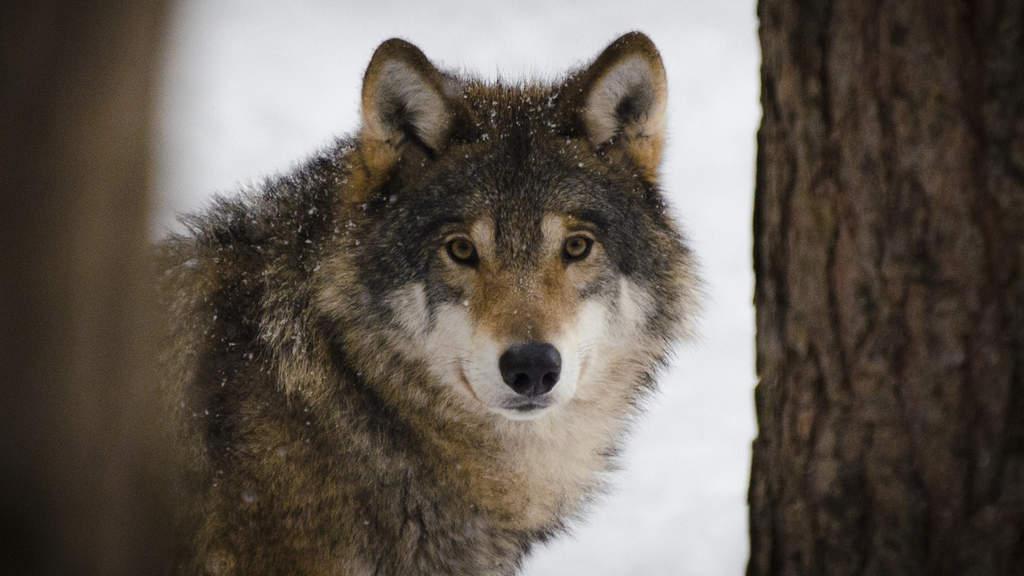 Matteo Salvini autorizza l'abbattimento dei lupi