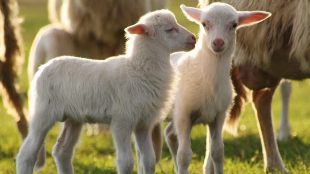 due agnelli bianchi in piedi